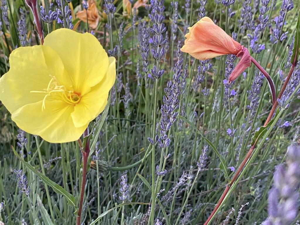 Evening primrose & lavender