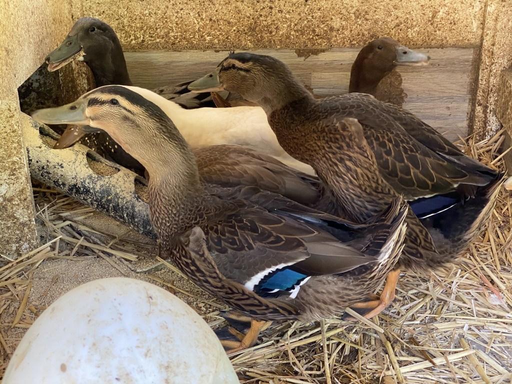 Ducks in duck house