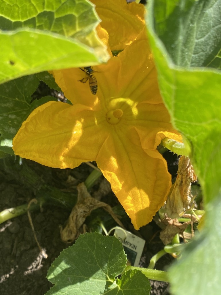 Pumpkin flower with bee