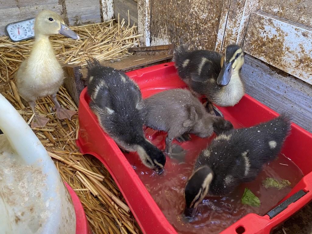 Ducklings in the pool