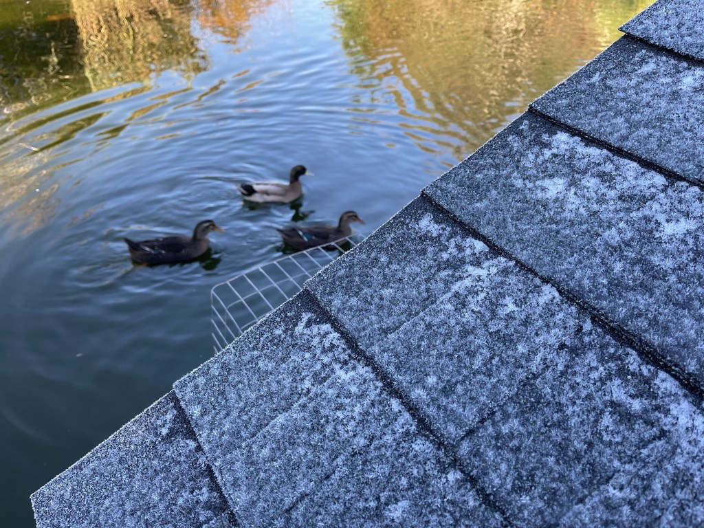Ducks and frosty duck house roof