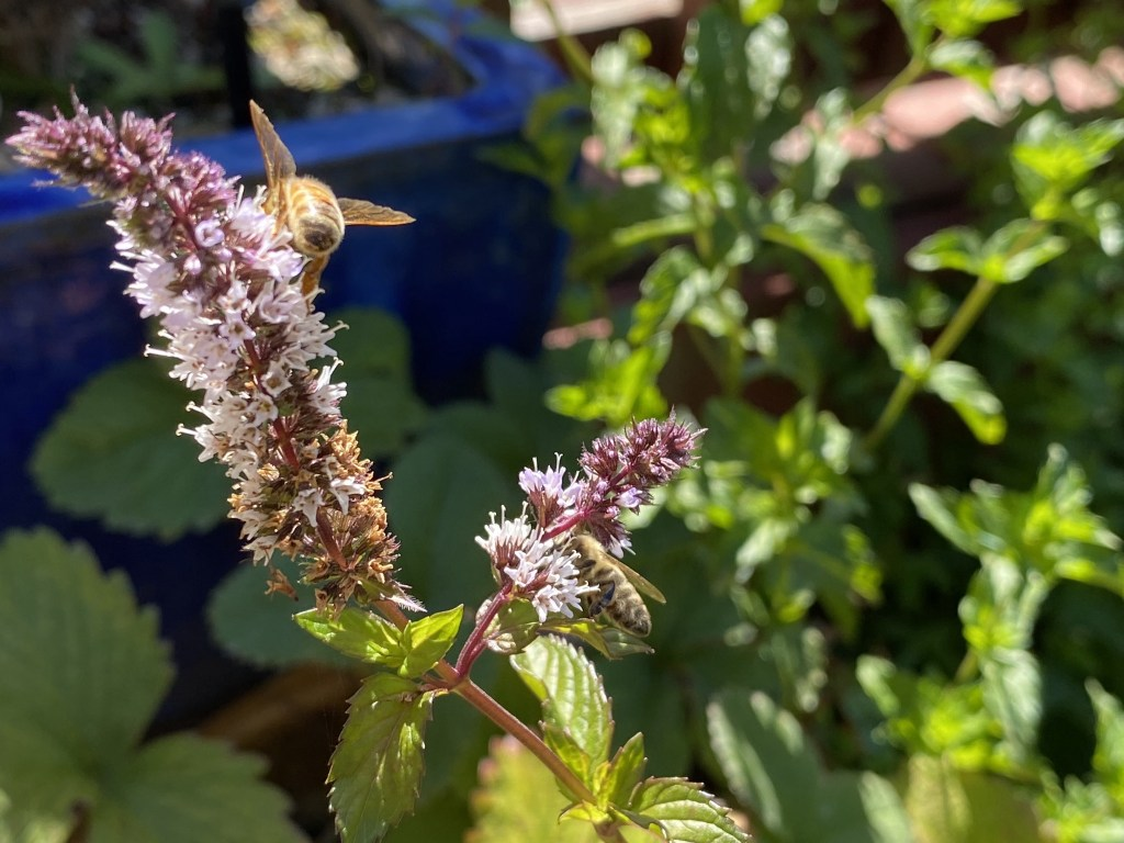 Peppermint and bees
