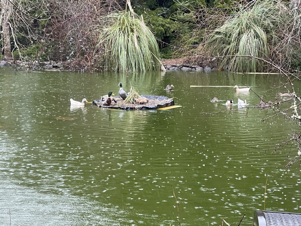 Ducks on the floating pond island