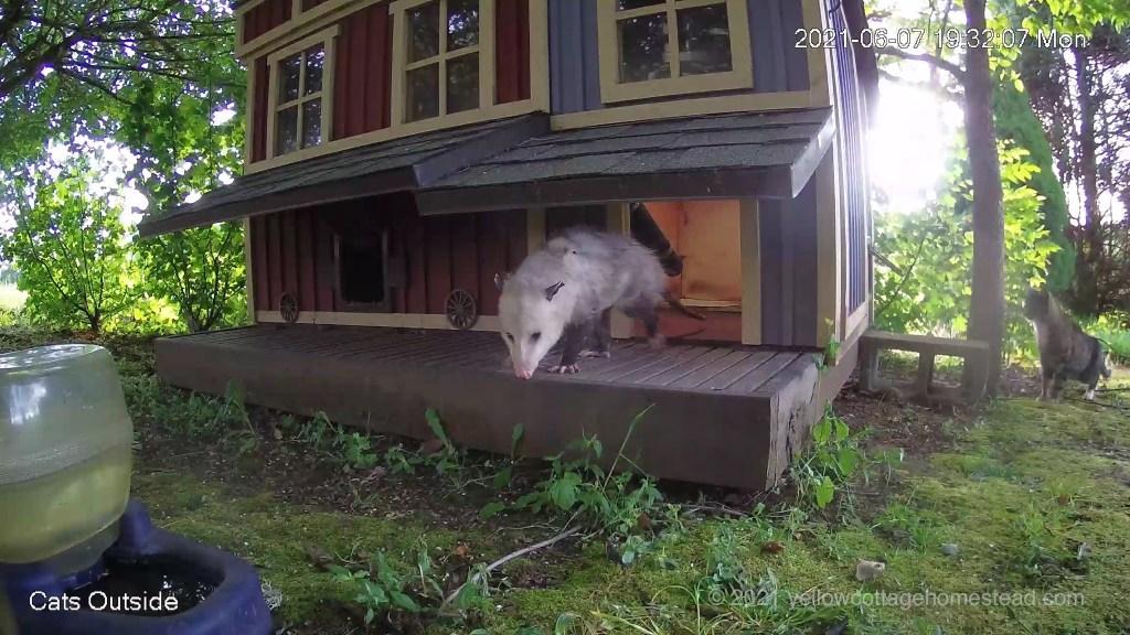 Possum and cat