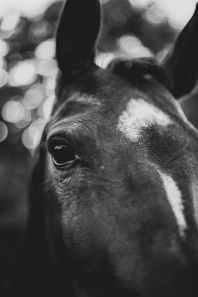 horse muzzle and eye on blurred background