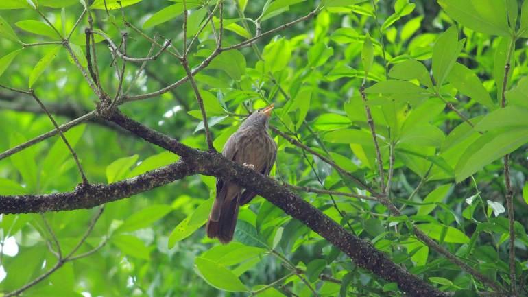 Common Babbler bird at salim ali bird sanctury, Thattekkad Bird Sanctuary-Thattekad Bird Sanctuary