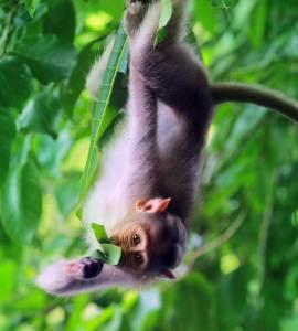 Infant monkeys_Thattekad Bird Sanctury