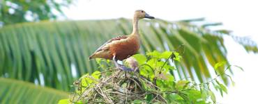 lesser whistling duck_Indian whistling duck_lesser whistling teal, Whistling Duck