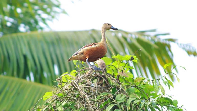 lesser whistling duck_Indian whistling duck_lesser whistling teal