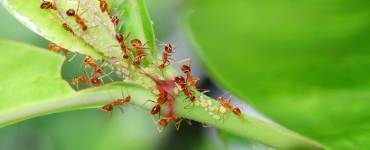 Ants eating Aphids, Insects Kerala