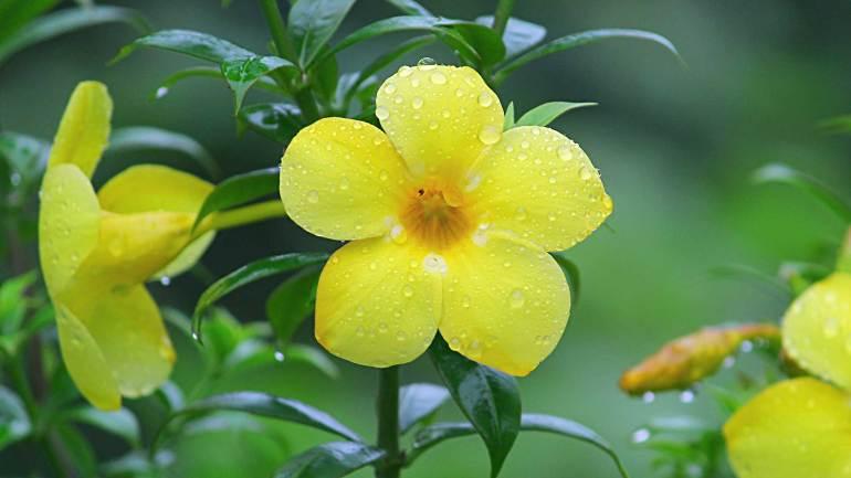 Golden-Trumpet-Manja Kolambi-Flowers of Kerala