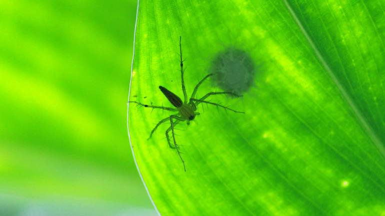 Green-Lynx-Spider-Insects-of-Kerala