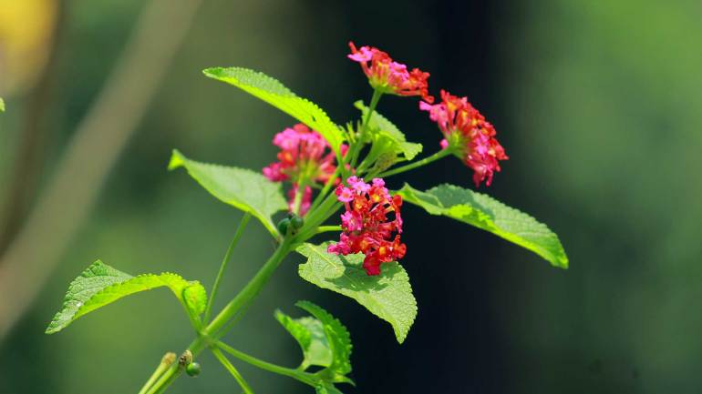 Lantana-Flower-Kongini_Poovu-Flowers of Kerala