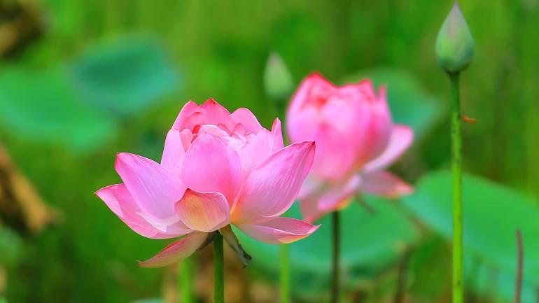 Lotus-Nelumbo Nucifera-Thamara-Poovu_flowers-of-Kerala