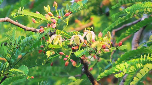 Tamarind Fruit-Tree, Flowers, Seeds Health Benefits and Photos