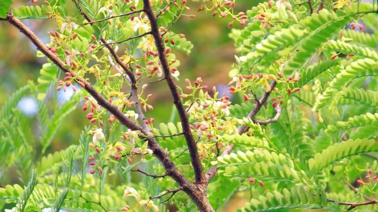 Tamarind-flowers