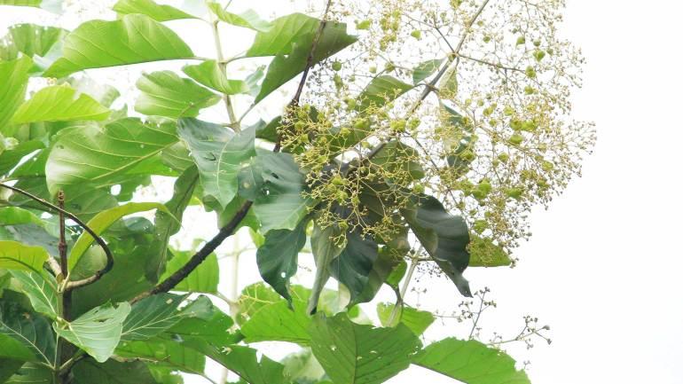 Teak-Flowers-and-Seeds-Kerala