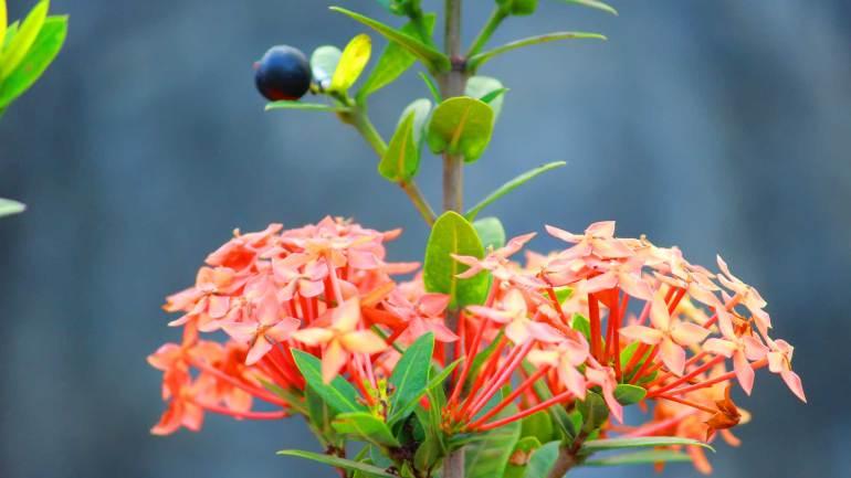West-Indian-Jasmine-Chethi-Poovu-Chethi-Flower-Kerala