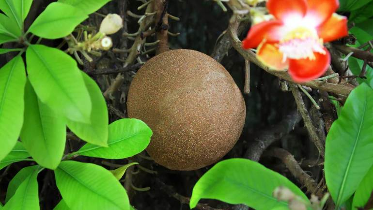 Cannonball-Tree-Fruit