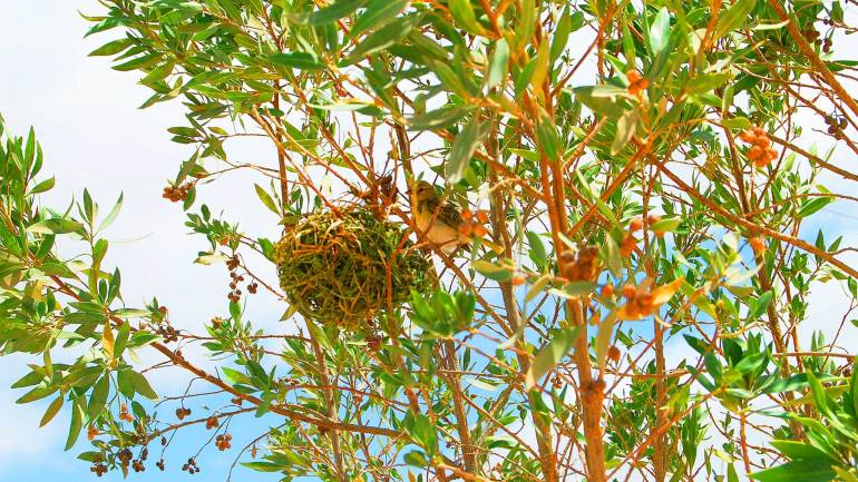 Birds-nest-on-the-branch-of-an-acacia-tree,-Hargeisa-Somaliland