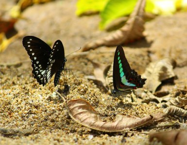 Butterflies-Engaged-in-Mud-Puddling-in-The-River-Bank-of-Vadattupara-Vadattupara-Forest-Vadattupara-Tourism, Vadattupara, Queen of Village Beauty, Vadattupara