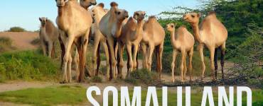 Camels-in-the-countryside-of-Hargeisa-Somaliland