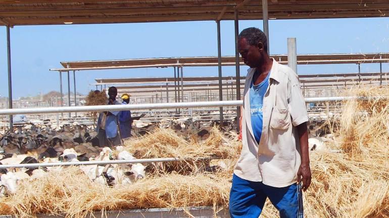 Feeding-the-animals,-livestock-farm-at-Berbera-Somaliland