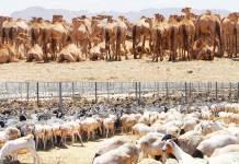Livestock-farm-at-Berbera-Somaliland, Somaliland Livestock