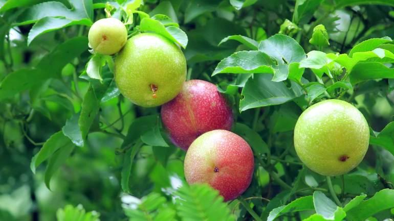 Passion-fruit-Granadilla-Krishna-Phal, Granadilla, Krishna Phal, Passion Fruit