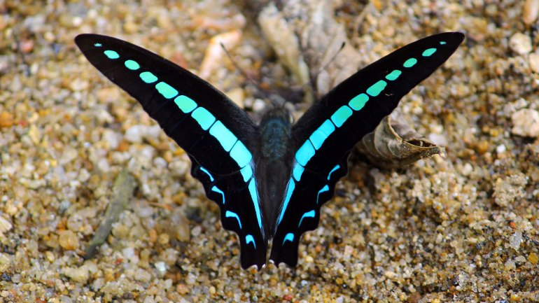 Southern-Bluebottle-(Graphium-Teredon)-Dorsal-View-List-of-Butterflies-of-Kerala-Butterfly-Kerala