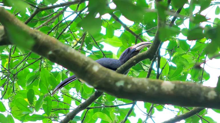 Malabar-Grey-Hornbill-at-Bhoothathankettu-Forest