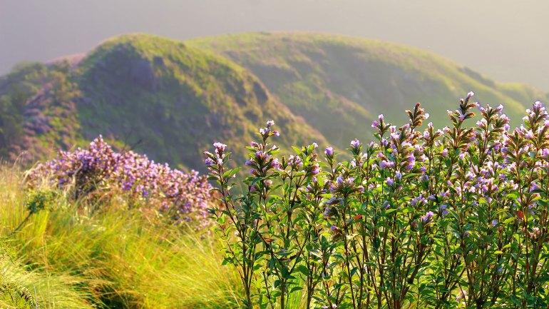 Kolukkumalai Neelakurinji in Full Bloom-Kolukkumalai Neelakurinji Year 2018-Kolukkumalai Neelakurinji-Neelakurinji Blooms in Kolukkumalai-Kolukkumalai Neelakurinji Visit Trek-Kolukkumalai