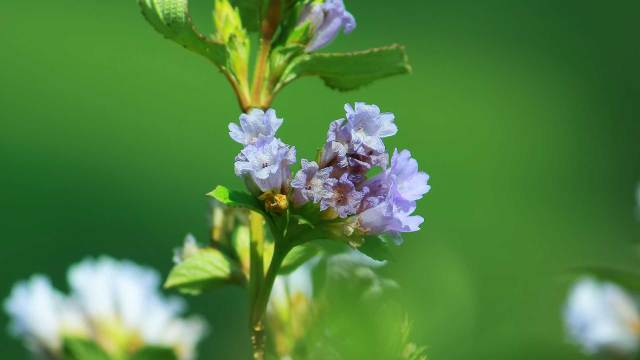 Neelakurinji-Flower-at-Rajamalai-Eravikulam-National-Park--Munnar