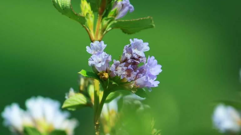 Neelakurinji-Flower-at-Rajamalai-Eravikulam-National-Park--Munnar