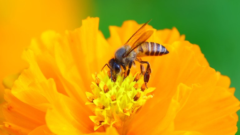 Honey Bee, Genus Apis, Insects of Kerala, Kerala Insects, Insect Photos