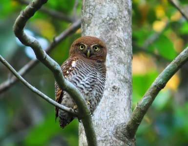 Jungle Owlet (Moonga), Thattekkad Birds, Birds of South India, Birds of Kerala, Kerala Birds, Birds of Thattekkad, South India Birding, Thattekkadu, Thattekkad Bird Sanctury