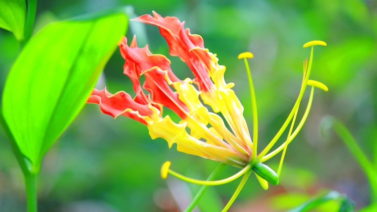 Flame Lily, Fire Lily, Gloriosa Lily, Glory Lily, Superb Lily, Climbing Lily, Creeping Lily, Kithonni, Menthonni, State Flower of Tamil Nadu