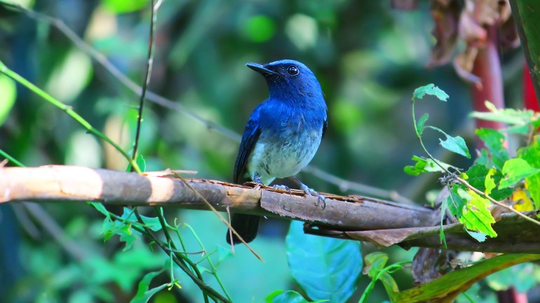 White Bellied Blue Flycatcher, Thattekkad Birds, Birds of South India, Birds of Kerala, Kerala Birds, Birds of Thattekkad, South India Birding