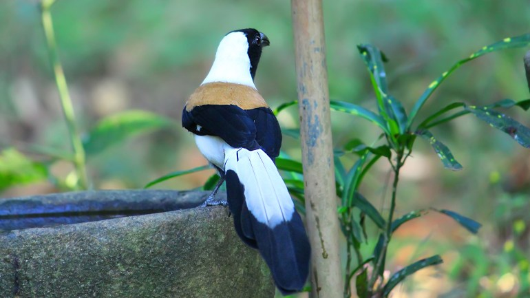 White Bellied Treepie, Thattekkad Birds, Birds of South India, Birds of Kerala, Kerala Birds, Birds of Thattekkad, South India Birding