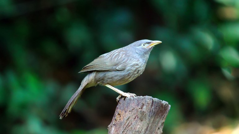 Yellow Billed Babbler, Thattekkad Birds, Birds of South India, Birds of Kerala, Kerala Birds, Birds of Thattekkad, South India Birding, Chilappan Kada, chilappankada, kada