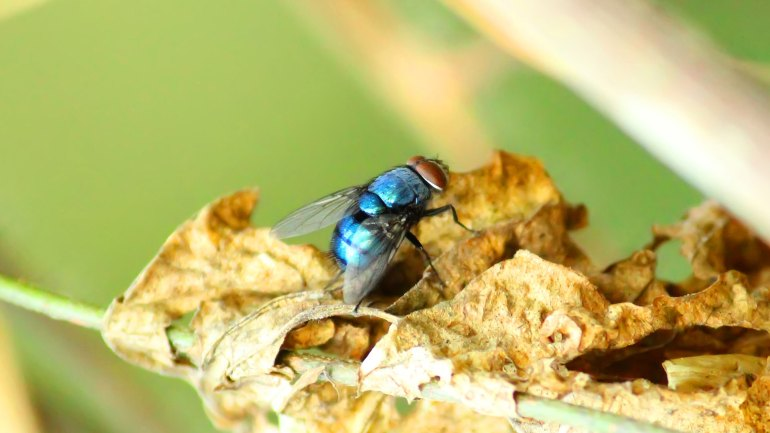 Blue Bottle Fly, Bottlebee, Insects of India, Indian Spiders, Insects of Kerala, Kerala Insects