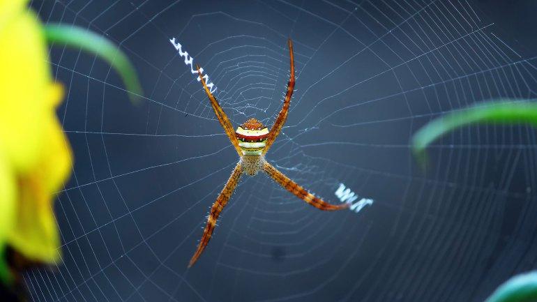 Signature Spider, Writing Spider, Garden Spider, Argiope Anasuja, Spider, Spider Net