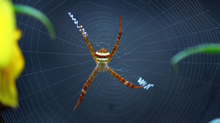 Signature Spider Male, Argiope Anasuja Male, Insects of India, Indian Spiders, Insects of Kerala, Kerala Insects