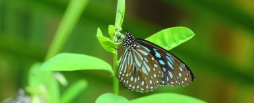 Crotalaria, Crotalaria Plant, Crotalaria Flower, Kilukkampetty, Kilukkam Petti, Butterfly Plant, Dark Blue Tiger, Blue Tiger, Dark Blue Tiger Butterfly, Blue Tiger Butterfly, Butterfly Photo