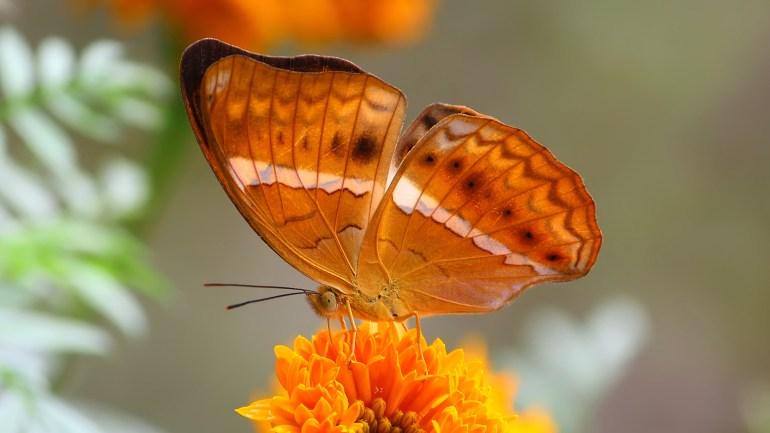 Tamil Yeoman, Cirrochroa Thais, Marotti Salabham, India Butterflies, Kerala Butterflies, Indian Butterfly Photos, Butterflies of Kerala, Butterflies of India, Butterfly List Kerala, Butterfly List India