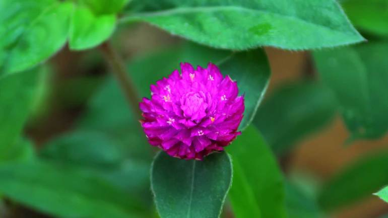 Flowers Kerala, Globe Amaranth, വാടാമല്ലി