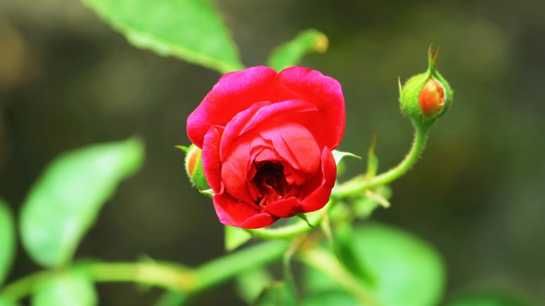 Rose Flower, Kerala Flowers, Flowers of Kerala, Kerala Garden Flowers