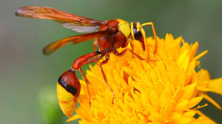 Wasp, Golden Paper Wasp, Insects of Kerala, Kerala Insects, Insects Kerala
