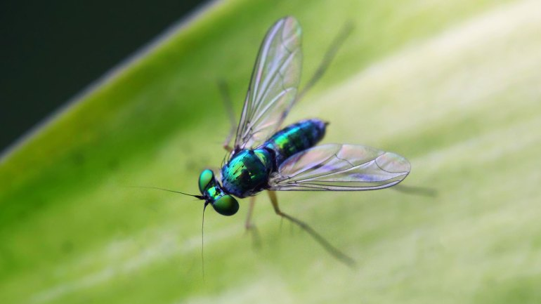 Long-Legged Fly, Green Dolichopodidae, Insects of Kerala, Kerala Insects, Insects Kerala