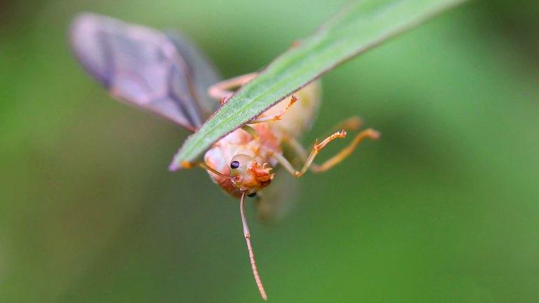 Weaver Ant Queen, Ant Queen, Ant, Green Ant, Weaver Ant Queen